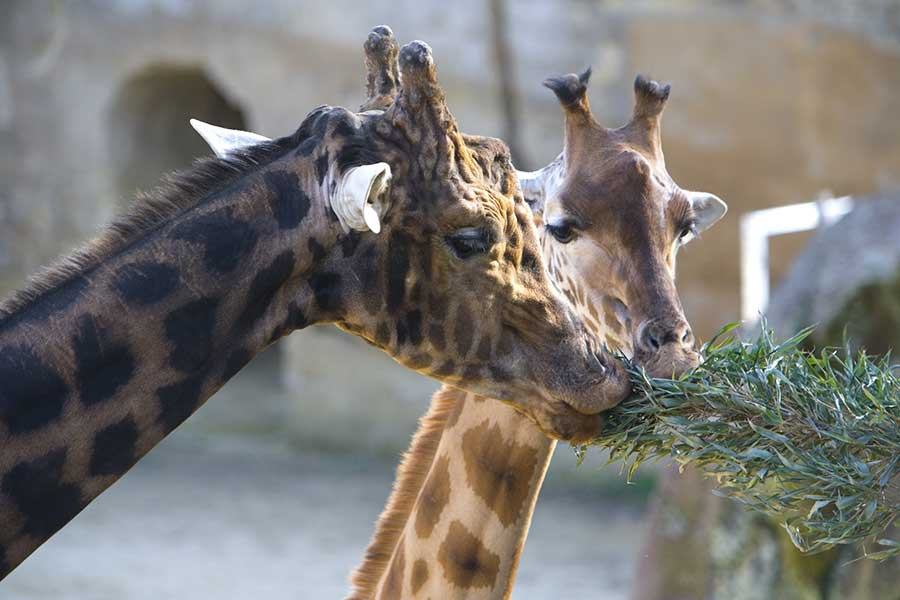 Copyright_Chabot-Zoo_Les_Sables_d'Olonne_Vendee_Expansion_Girafe